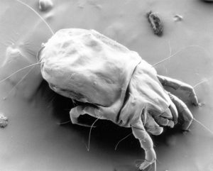 tiny female house dust mite